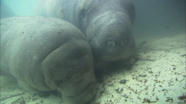 Manatee (Trichechus manatus) Baby, mother pushes it up, group chases, close up, Florida, North Atlantic Ocean