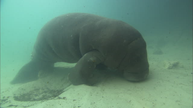 manatee (trichechus manatus) baby, sleeping, medium close up, florida, north atlantic ocean  - north atlantic ocean stock videos & royalty-free footage