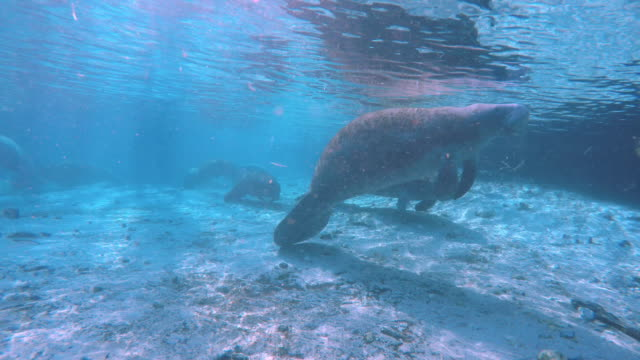 manatee breathe in the air - rundschwanzseekuh stock-videos und b-roll-filmmaterial