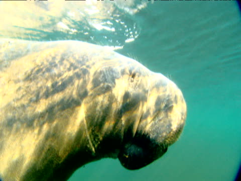 Manatee breathes at surface then submerges, Florida