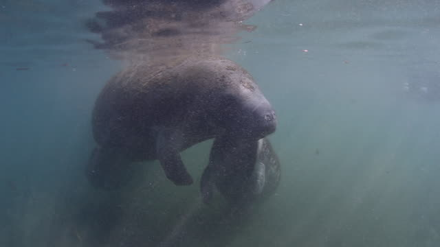 A Manatee Calf Nursing from the Mother