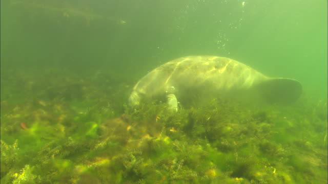 Manatee, eating close up. Crystal River, Florida, USA