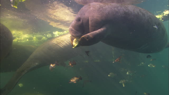 manatee eating head lettuce, florida, north atlantic ocean  - rundschwanzseekuh stock-videos und b-roll-filmmaterial