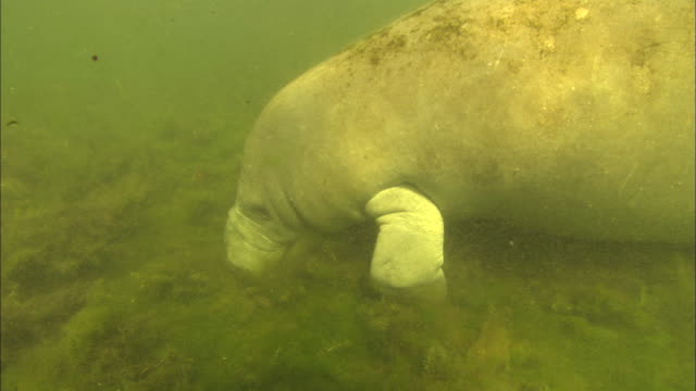 Manatee eating seaweed. Crystal River, Florida, USA