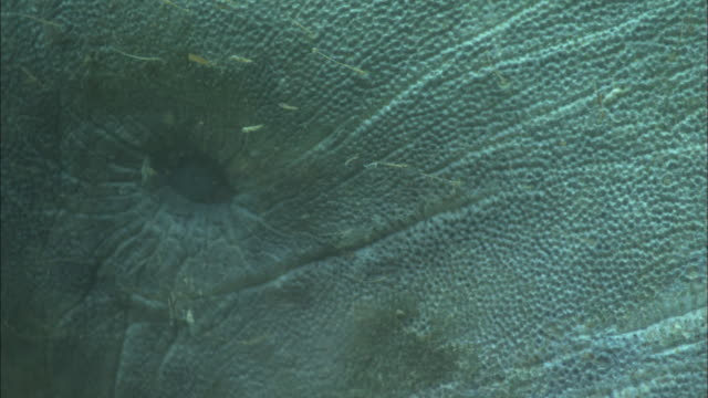 manatee eye, florida, north atlantic ocean  - lamantino video stock e b–roll