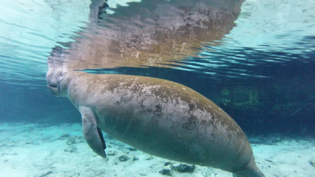 manatee floating at water surface in sea - everglades, florida - aquatic mammal stock videos & royalty-free footage