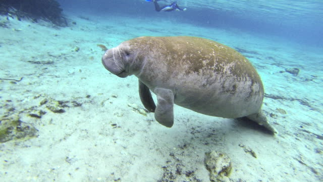 manatee floating in water over ocean floor with scuba diver in background - everglades, florida - rundschwanzseekuh stock-videos und b-roll-filmmaterial