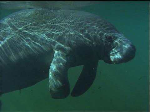 a manatee floats in the coastal waters of florida. - wassersäugetier stock-videos und b-roll-filmmaterial