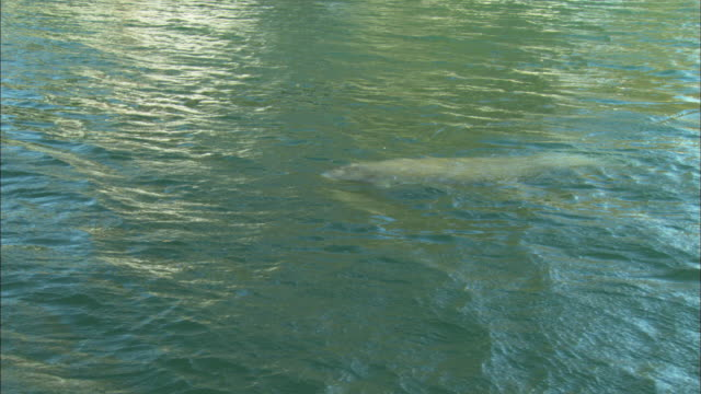 manatee gets air, florida, north atlantic ocean  - rundschwanzseekuh stock-videos und b-roll-filmmaterial