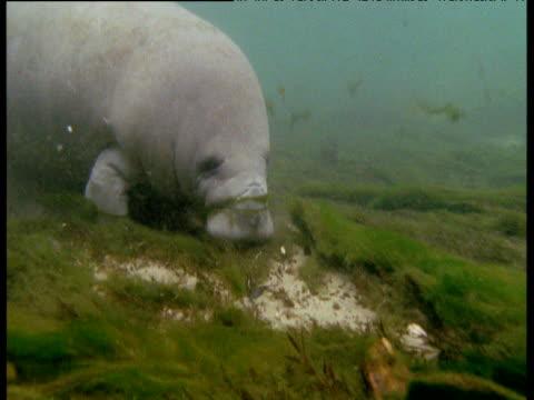 manatee grazes on eel grass in lagoon, florida - manatee stock videos & royalty-free footage