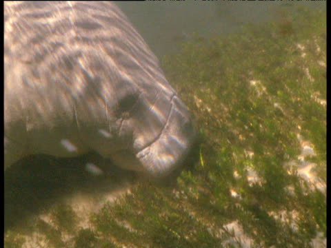 Manatee grazes on eel grass in lagoon then rises for air, Florida