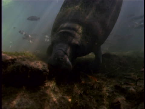 a manatee grazes on the seafloor as fish swim nearby. - herbivorous stock videos & royalty-free footage