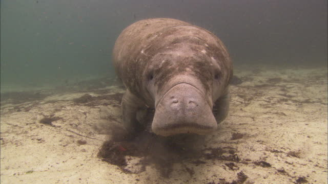 manatee grazing along bottom in sand, florida, north atlantic ocean  - rundschwanzseekuh stock-videos und b-roll-filmmaterial