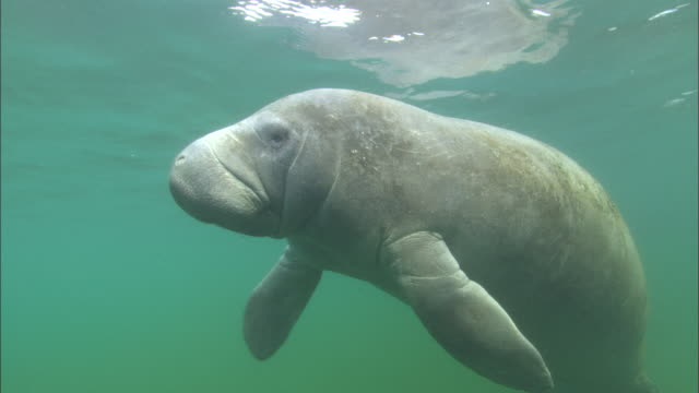 manatee hovers in front of camera,  florida, north atlantic ocean  - rundschwanzseekuh stock-videos und b-roll-filmmaterial