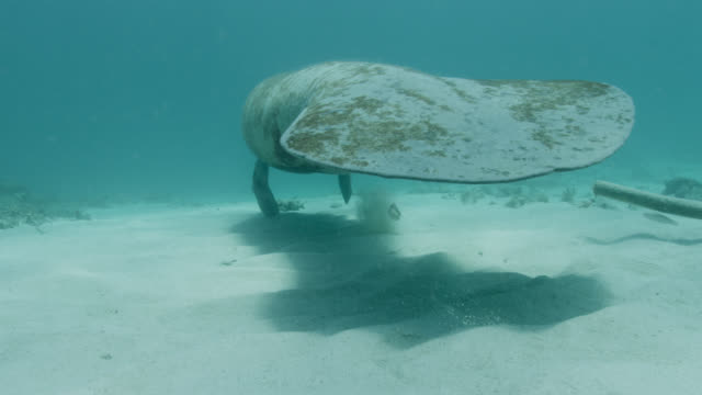 manatee leaves cleaning station on sea bed, belize - rundschwanzseekuh stock-videos und b-roll-filmmaterial