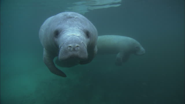manatee looks at camera, medium close up, florida, north atlantic ocean  - rundschwanzseekuh stock-videos und b-roll-filmmaterial