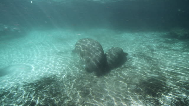 Manatee Mom nursing Calf