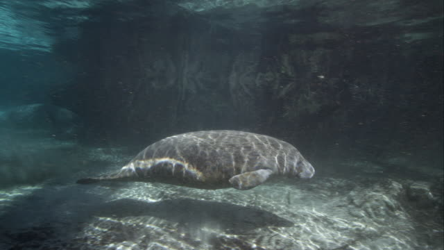 Manatee Mom with Calf