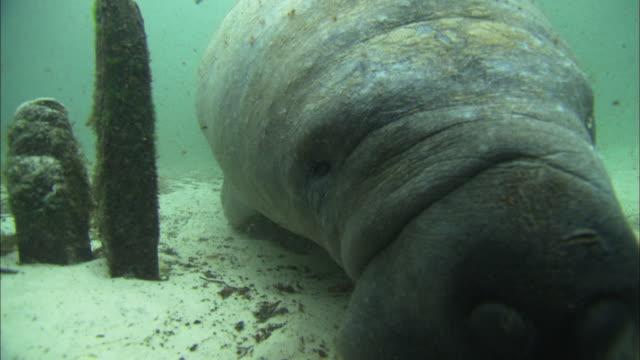 Manatee noses port close up, Florida, North Atlantic Ocean