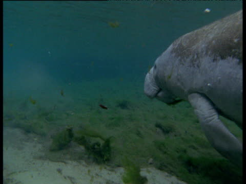 Manatee rises for air in lagoon, Florida