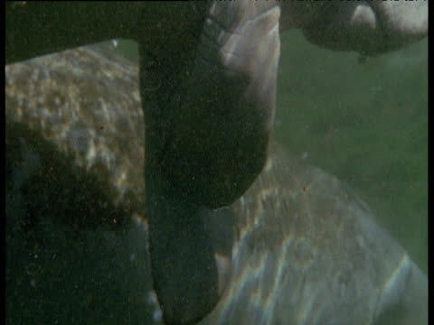 Manatee rubs flippers together in lagoon, Florida