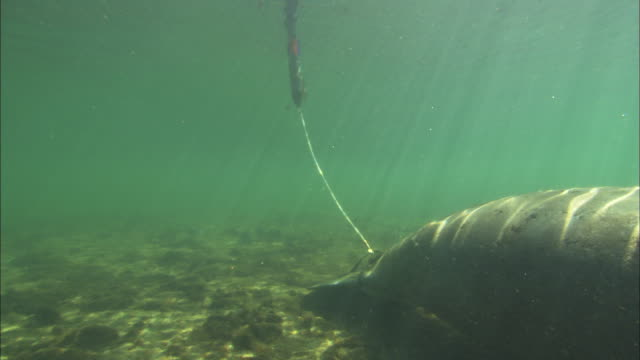 manatee sat tagged, florida, north atlantic ocean  - wildlife tracking tag stock videos and b-roll footage