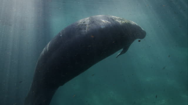 manatee spinning and playing - lamantino video stock e b–roll