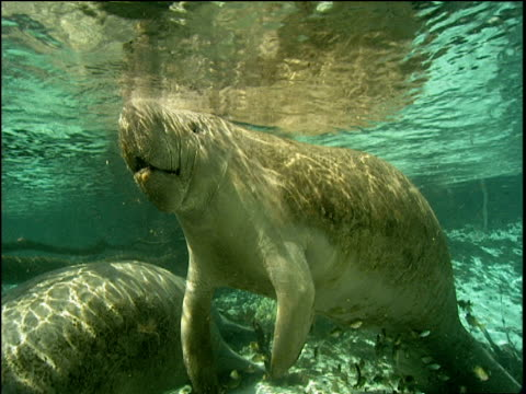 Manatee surfaces to breathe, two others follow, River Crystal, Florida