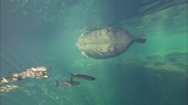 manatee swim by, florida, north atlantic ocean  - north atlantic ocean stock videos & royalty-free footage