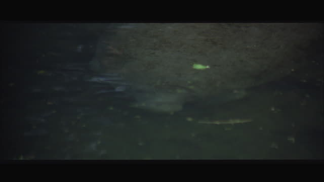 CU Manatee swimming in swamp pond