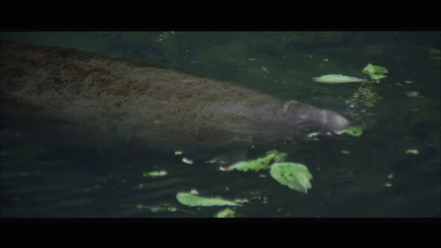 MS Manatee swimming in swamp pond