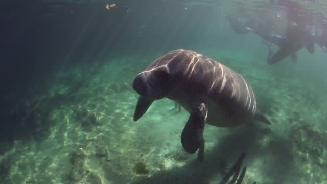 A Manatee Swimming to the Surface for a Breath of Air