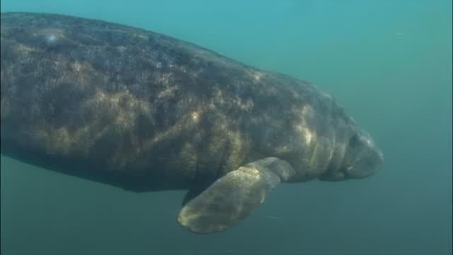 CU, Manatee swimming underwater, Florida, USA