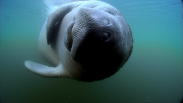 cu, manatee swimming underwater, florida, usa  - rundschwanzseekuh stock-videos und b-roll-filmmaterial