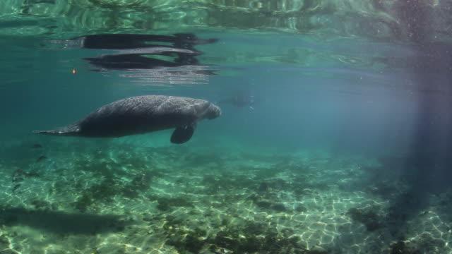 A Manatee Swimming