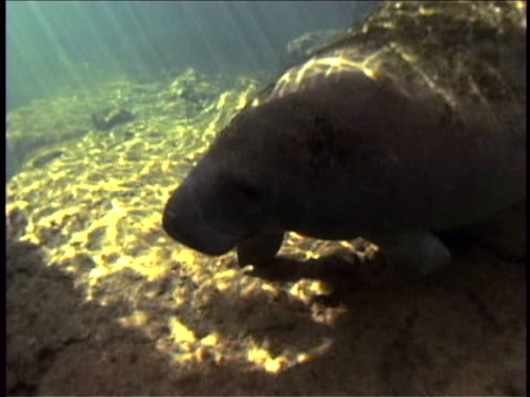 A manatee swims through dappled water.