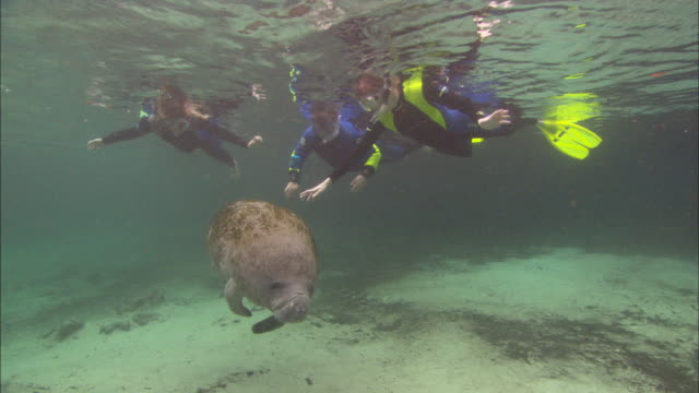 manatee (trichechus manatus) tourists, reaching out to touch, audio, florida, north atlantic ocean  - lamantino video stock e b–roll