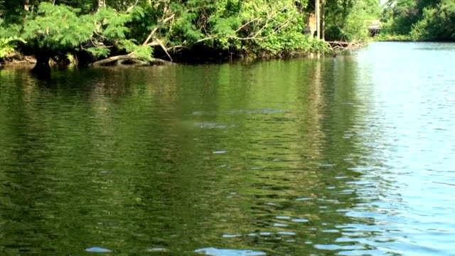 Manatee, Trichechus manatus, plays in the river on sunny day