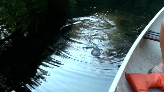 manatee, trichechus manatus, raises and takes a breath - hair back stock videos & royalty-free footage