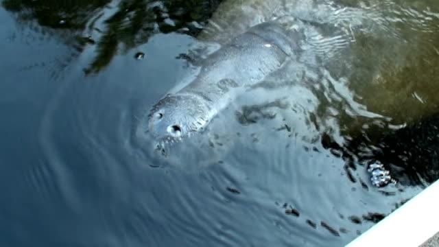 vidéos et rushes de manatee, trichechus manatus, se dresse à côté de canoë pour respirer - mammifère aquatique
