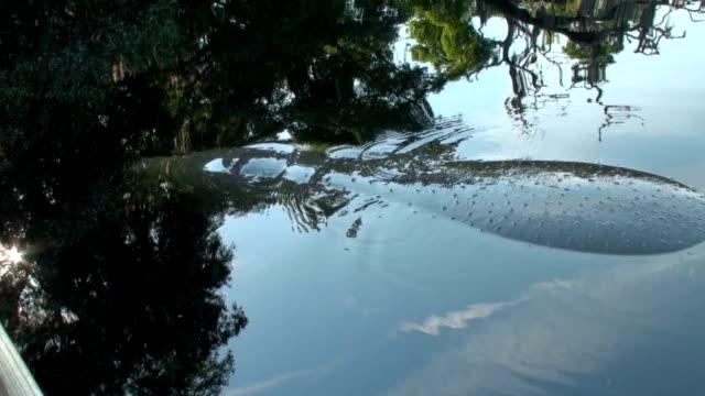manatee, trichechus manatus, oberflächen mit den haaren auf ihrem rücken - tier rücken stock-videos und b-roll-filmmaterial