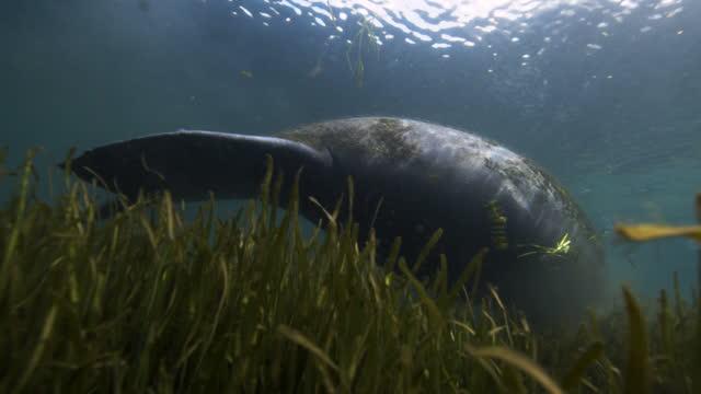 manatee underwater - florida us state stock videos & royalty-free footage