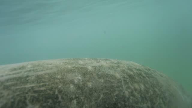 manatee - freshwater stock videos & royalty-free footage