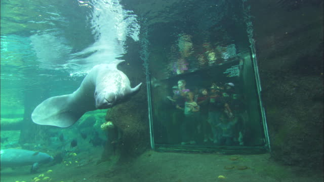 manatee viewing, lowry park zoo, florida, north atlantic ocean  - lamantino video stock e b–roll