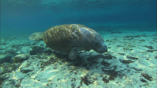 Manatee walking, crystal blue water, travel Florida, North Atlantic Ocean