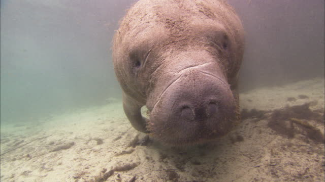 Manatee whiskers and face shot, Florida, North Atlantic Ocean