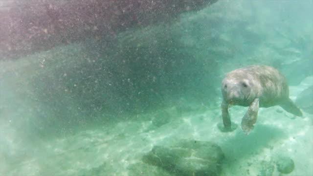 manatees at christal river - manatee stock videos & royalty-free footage