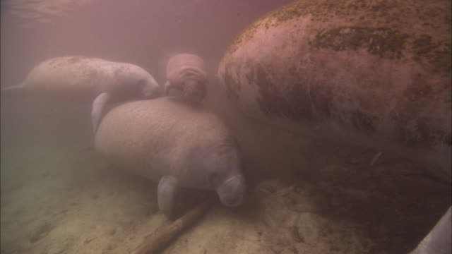 manatees baby and mother, escape group, travel, florida, north atlantic ocean  - lamantino video stock e b–roll