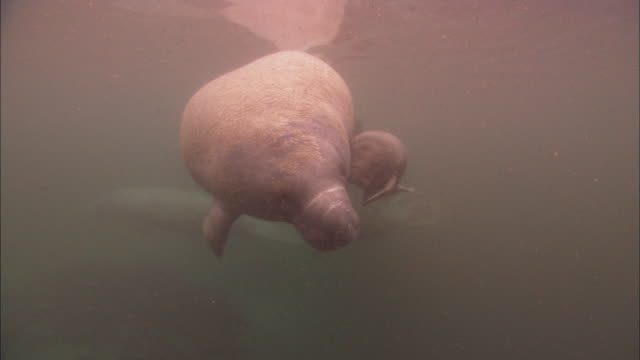 manatees baby and mother, rolls, travel, florida, north atlantic ocean  - lamantino video stock e b–roll