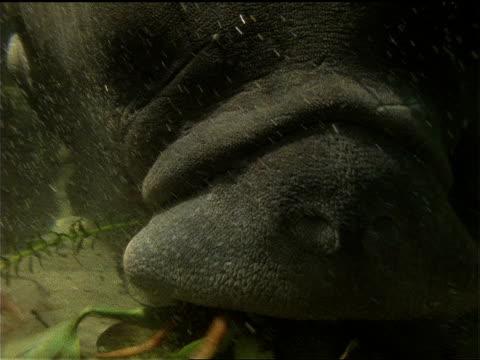 stockvideo's en b-roll-footage met manatees graze on aquatic plants. - lamantijn